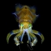 squid_reef_bigfin_bb_v_1380_alo3469.jpg