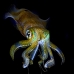 squid_reef_bigfin_bb_v_1384_alo3473.jpg