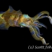 squid_reef_bigfin_pp_v_0104_alo0255.jpg