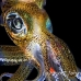 squid_reef_bigfin_pp_v_0108_alo0259_crop.jpg