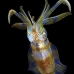 squid_reef_bigfin_pp_v_0122_alo0273.jpg