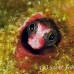 blenny_barnacle_pej_ci_h_0030_cos0576.jpg