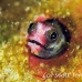 blenny_barnacle_pej_ci_h_0043_cos0591.jpg
