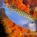 boxfish_pacific_pej_ci_h_0101_cos0896.jpg