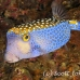 boxfish_pacific_pej_ci_h_0109_cos0904.jpg