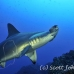shark_hammerhead_scalloped_alc_ci_h_0041_cos1181.jpg