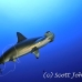 shark_hammerhead_scalloped_alc_ci_h_0046_cos1186.jpg