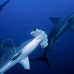 shark_hammerhead_scalloped_ci_h_0051_cr.jpg