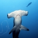 shark_hammerhead_scalloped_ci_h_0055_cr.jpg