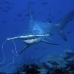 shark_hammerhead_scalloped_ci_h_0056_cr.jpg