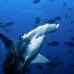 shark_hammerhead_scalloped_ci_h_0057_cr.jpg