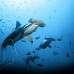 shark_hammerhead_scalloped_ci_h_0061_cr.jpg
