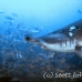 shark_hammerhead_scalloped_ci_h_0067_cr.jpg