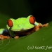 frog_tree_redeyed_tar_h_0560_cos0890.jpg