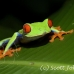 frog_tree_redeyed_tar_h_0568_cos0898.jpg