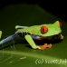 frog_tree_redeyed_tar_h_0579_cos0909.jpg