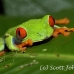 frog_tree_redeyed_tar_h_0604_cos0934.jpg