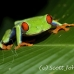 frog_tree_redeyed_tar_h_0615_cos0945.jpg