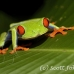 frog_tree_redeyed_tar_h_0616_cos0946.jpg
