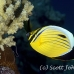 butterflyfish_blacktail_ss_si_h_0021_egy1520.jpg