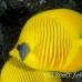 butterflyfish_masked_ss_si_h_0023_egy1522.jpg