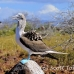 booby_bluefooted_nsey_h_0105_ecu0301.jpg