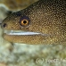 moray_goldentail_lphr_gc_h_0170_cay4082.jpg