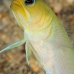 jawfish_yellowheaded_mb_roa_v_0062_uti1959.jpg