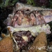 crab_hermit_3fw_lc_h_0373_cay0495.jpg