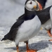 puffin_atlantic_msi_v_1170_can0790.jpg