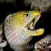 moray_fimbriated_eri_sari_h_0049_mal0958.jpg